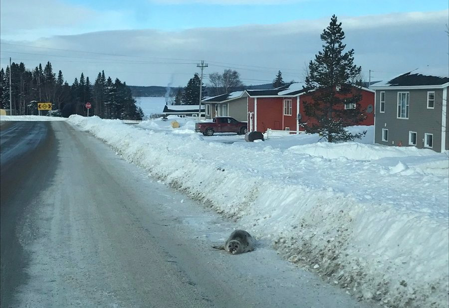 A seal is shown on a road in Roddickton, N.L. in a handout photo. Seals have been swarming the streets of a northern Newfoundland town, with residents fearing for the animals' safety.