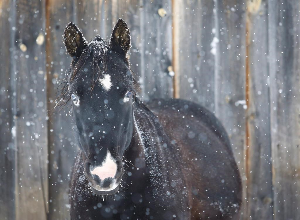 Thor, a Welsh pony, waits out the storm in snow-covered pastures. The Quebec government is moving to vastly expand the scope of its animal welfare legislation to offer increased protection to species ranging from horses and mink to ostriches and turkeys.