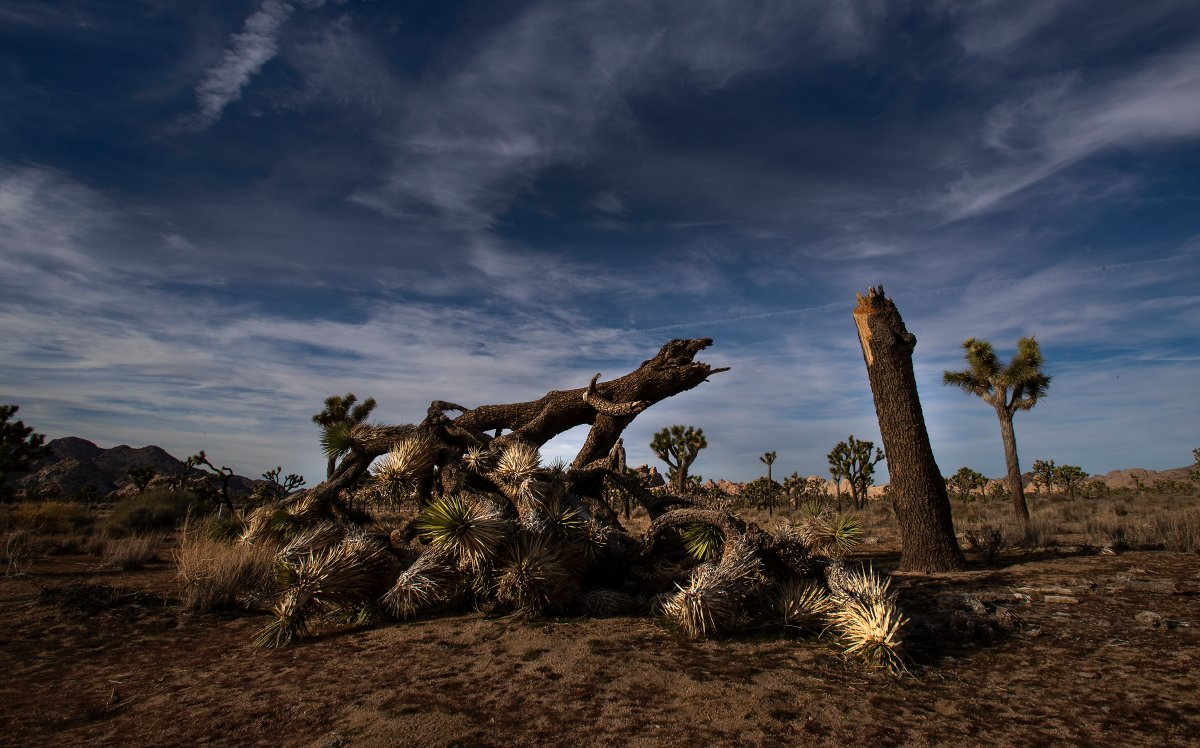 A once vibrant Joshua Tree has been severed in half  in an act of vandalism in Joshua Tree National Park on Jan. 8, 2019, in Joshua Tree, California.