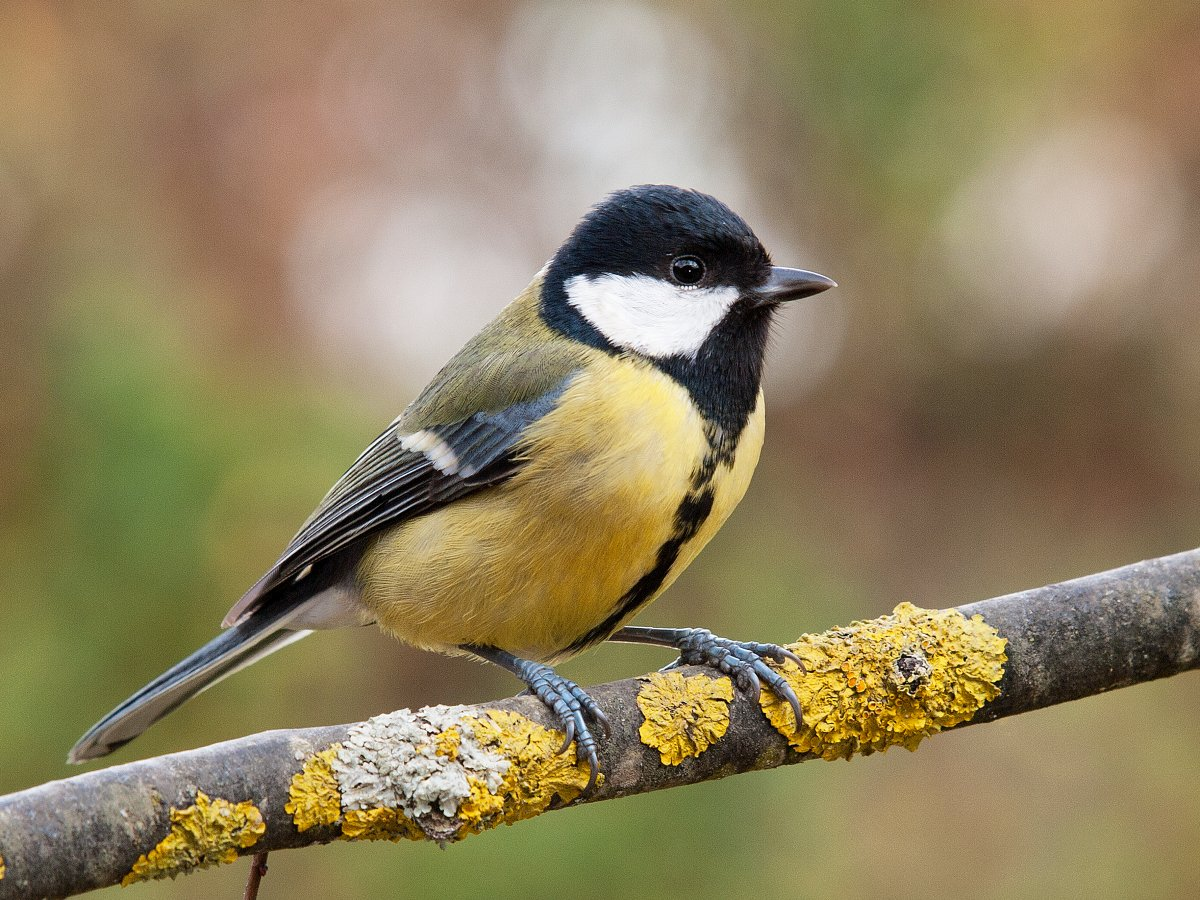 The Great Tits live in woodlands, parks and gardens across Europe,  and they usually do not migrate.