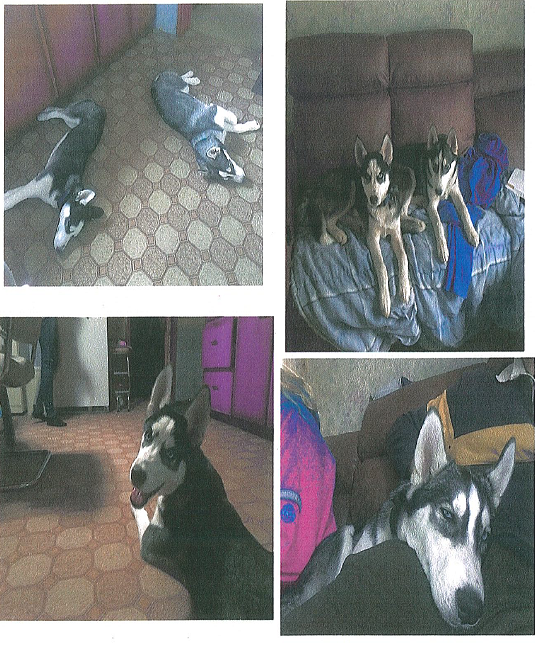 Police say the two huskies were reported missing from their home in Meaford on Dec. 28.