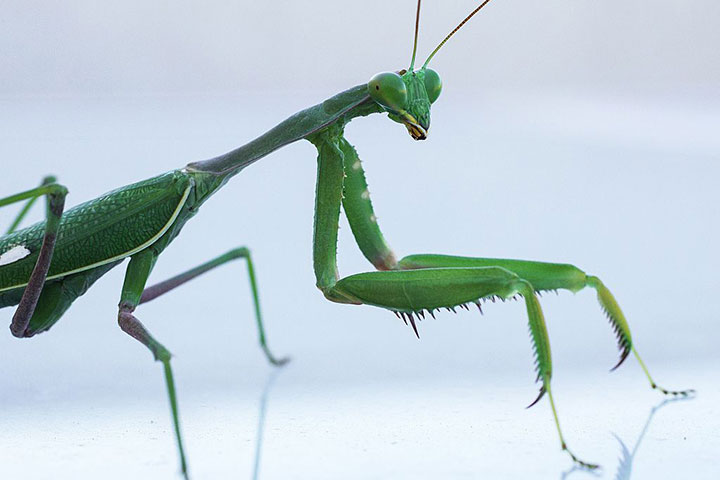 A praying mantis pictured on a table in this November 12, 2015 file photo.