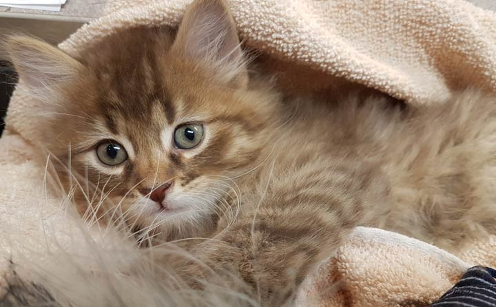 The Saskatoon SPCA said a kitten named Captain Crunch believed stolen from the shelter has been returned.