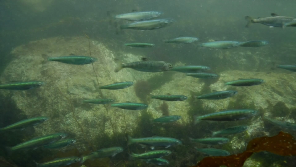 Government-appointed council calls for immediate actions to increase B.C.'s wild salmon population - image