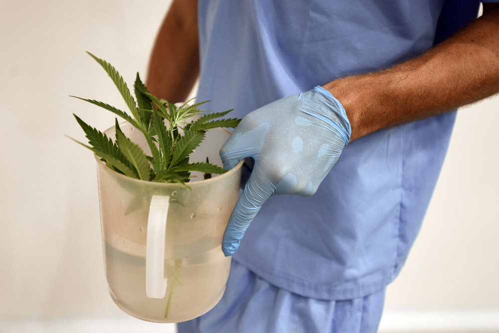 An employee of Fotmer SA, an enterprise that produces cannabis for medical use, carries marijuana cuttings to make clones, in Montevideo, Uruguay.