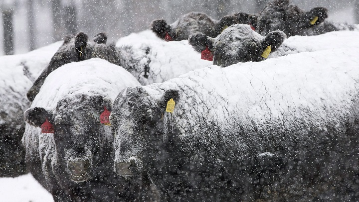 More than 300 cattle that authorities say appeared to be in distress have been seized from a livestock producer in southeastern Saskatchewan.