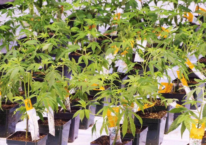 Cannabis seedlings are shown at an Aurora Cannabis facility, Friday, November 24, 2017 in Montreal.