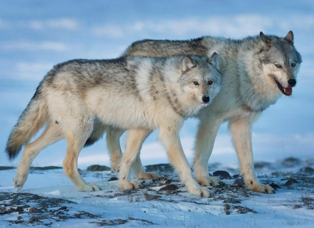 """A female wolf, left, and male wolf roam the tundra near The Meadowbank Gold Mine located in the Nunavut Territory of Canada on Wednesday, March 25, 2009. Ottawa is taking extra steps to find out if Canadians are still OK with killing wildlife in what one scientist calls """"one of the worst ways to die on earth."""" Health Canada's Pest Management Review Agency has extended public consultations into whether it should consider cruelty before licencing poisons used to control large predators such as wolves. THE CANADIAN PRESS/Nathan Denette."""