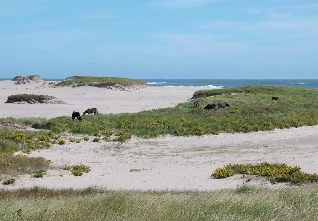 Horses on Sable Island, N.S., are shown in this undated handout photo.