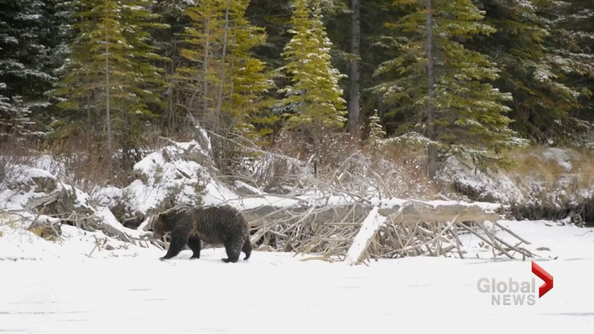 A grizzly bear is seen in the snow in this undated file photo.