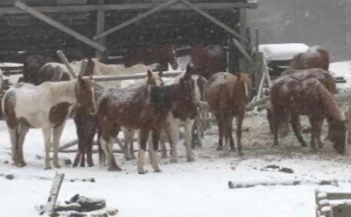 A member of the Okanagan Indian Band says she is worried about the health of some horses on a nearby ranch in Vernon.