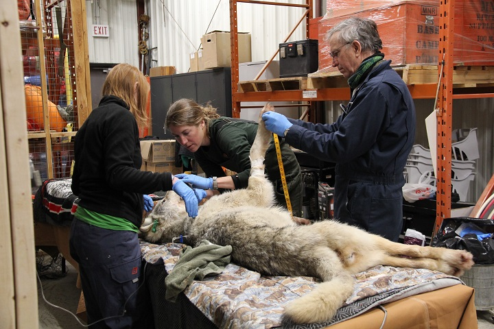 Workers inspect a wolf after capturing it on Michipicoten Island, Ont. in this undated handout photo.