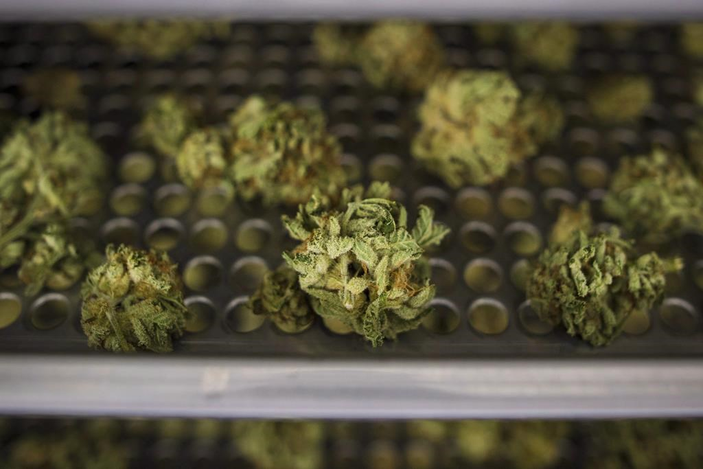 Cannabis buds lay along a drying rack at the CannTrust Niagara Greenhouse Facility in Fenwick, Ont., on June 26, 2018.