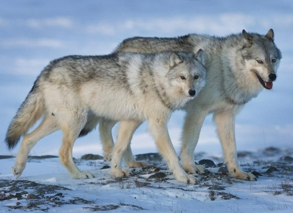 Trained shooters would be sent by helicopter if a wolf is found to be threatening the Charlevoix herd, whose numbers have declined to about 30 animals.