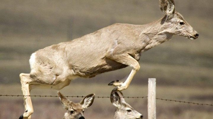 A deer jumps a fence and crosses a gravel road north of Pincher Creek, Alta. Kelowna conservation officers are calling for a ban on spiked fences after 10 deer were found impaled on them this year.