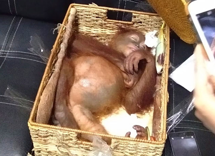 In this Saturday, March 23, 2019, photo released by Natural Resources Conservation Agency of Bali, a sedated two-year-old orangutan rests inside rattan basket following the arrest of a Russian national Andrei Zhestkov who allegedly tried to smuggle the ape out of the country.