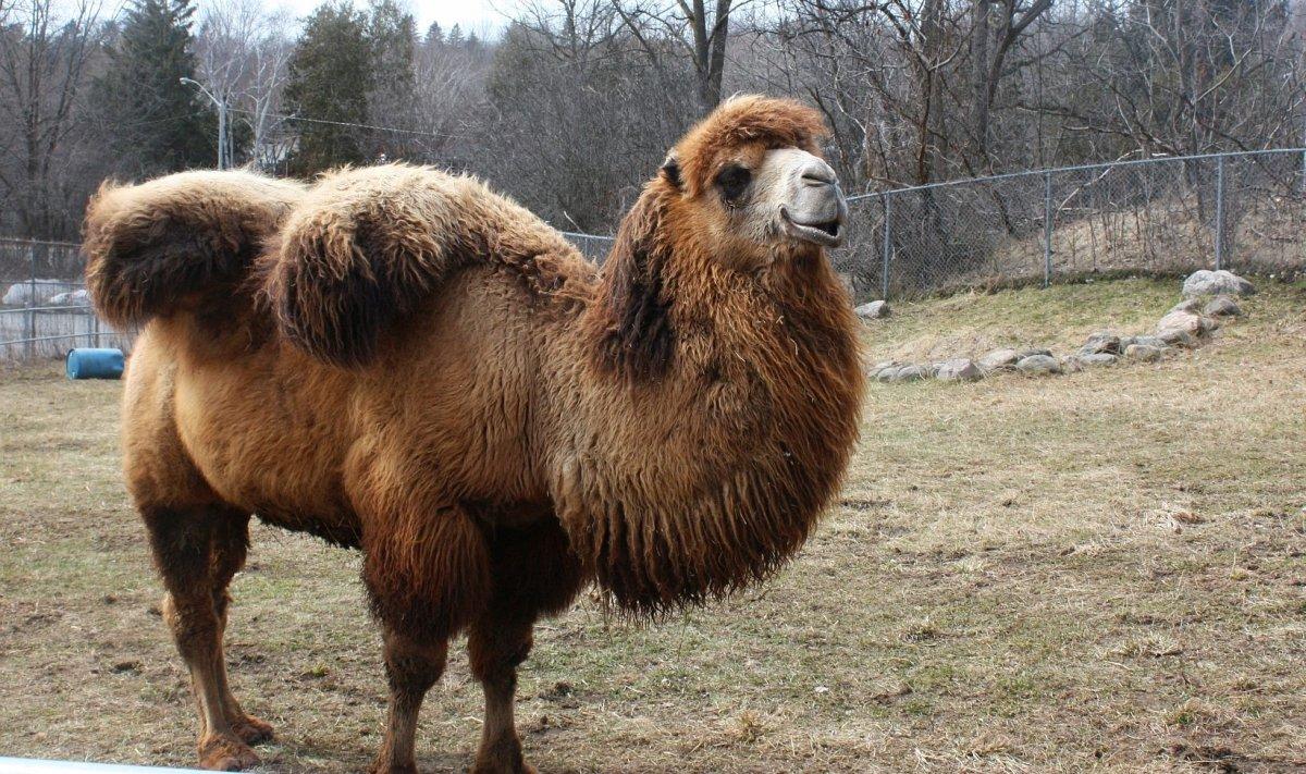 Camel Cheap Camel