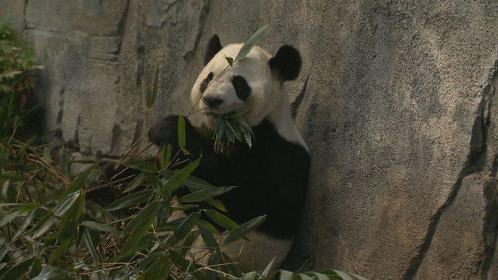 The Calgary Zoo is starting up its panda breeding program.