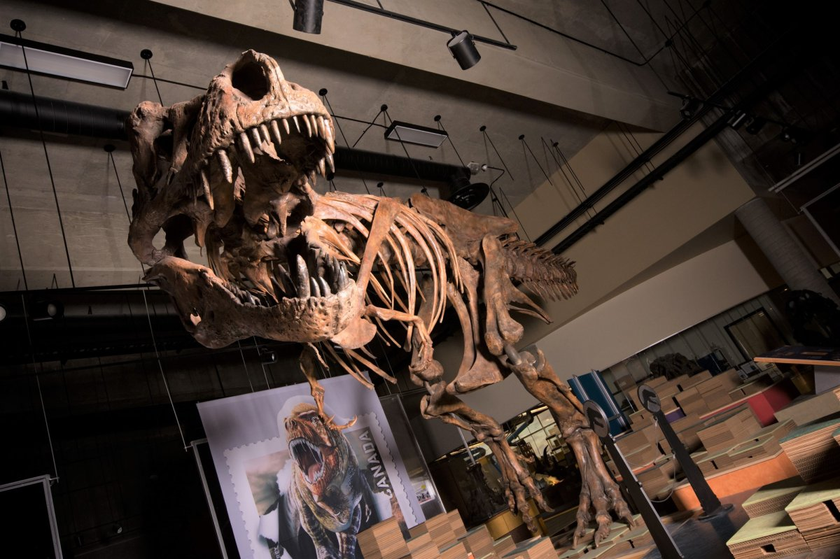 Scotty, nicknamed for a celebratory bottle of scotch the night it was discovered,  is the world's biggest Tyrannosaurus rex.