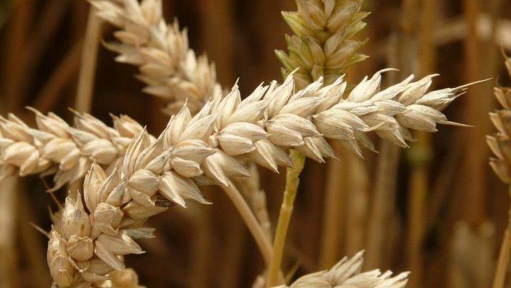 Close-up on a wheat crop.