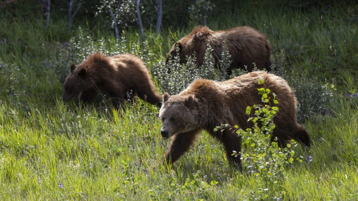 Grizzlies are seen in Banff National Park, Alta., on  July 24, 2018.