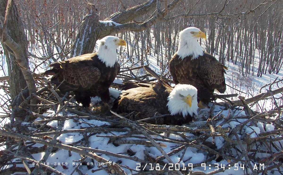 In this Feb. 18, 2019 still photo from video provided by the Stewards of Upper Mississippi River Refuge. in Thompson, Ill., shows two males Valor I and Valor II and one female bald eagle, Starr, center, sharing a nest of eggs along the Upper Mississippi River near Fulton, Illinois.