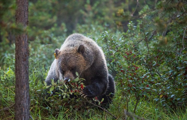 FILE- A grizzly bear eats ripe buffaloberry fruit in the Bow Valley of Alberta.