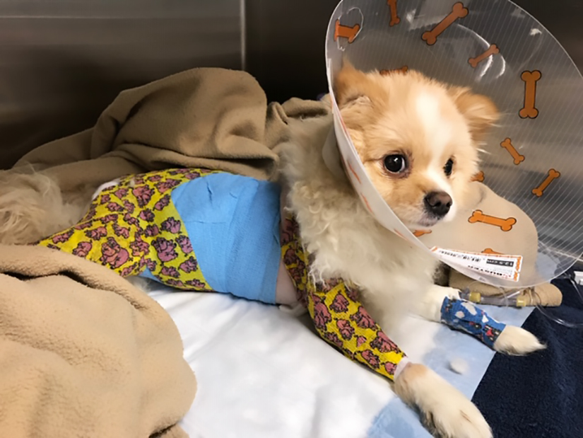 BC SPCA seeks donations for abused Pomeranian puppy - image