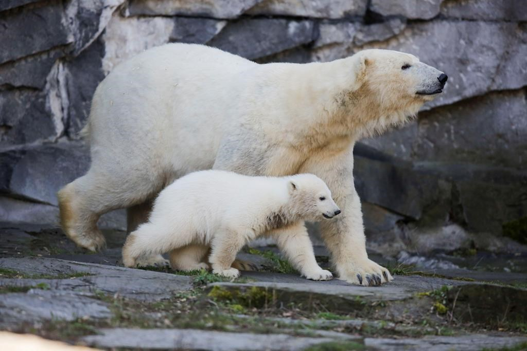 The polar bear Tonja and her cub Hertha walk in their enclosure, after the announcing of the cub's name, at the Tierpark zoo in Berlin on April 2, 2019.