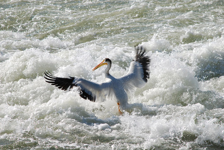 The first pelican of 2019 to land between the weir and CPR Bridge was spotted by the Saskatoon Nature Society on April 17.