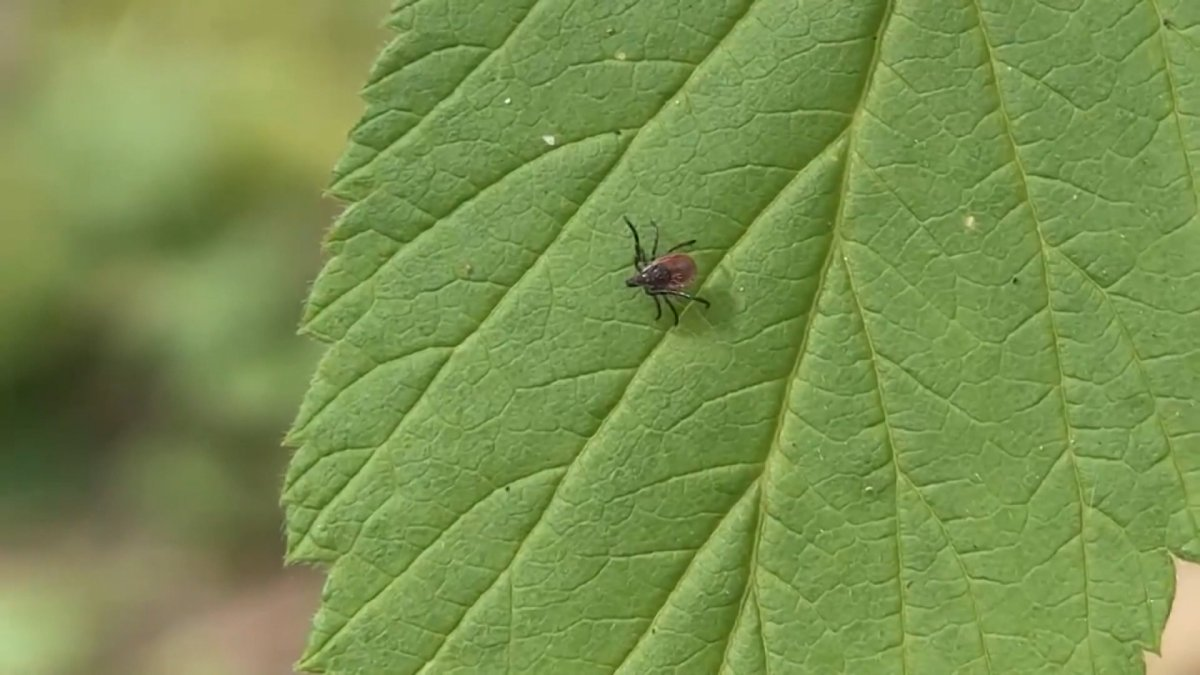 If you smell garlic in parts of the city, it may just be the thing keeping ticks and mosquitoes at bay.