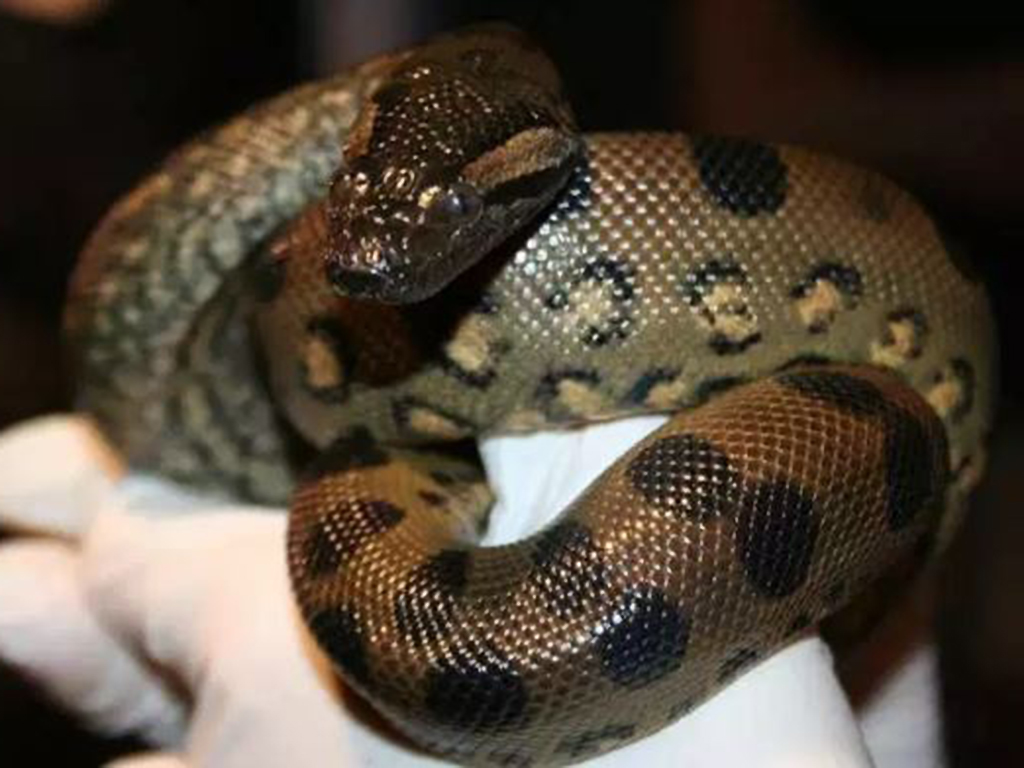 A biologist with the New England Aquarium holds a green anaconda.