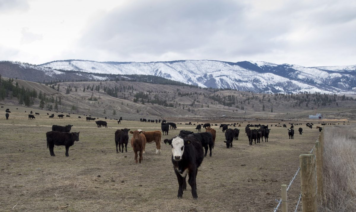 Cattle are seen in a field near Ashcroft, B.C., Sunday, March 26, 2017.  The B.C. government is partnering with the province's cattle industry to develop a targeted grazing program that could help prevent future wildfires.