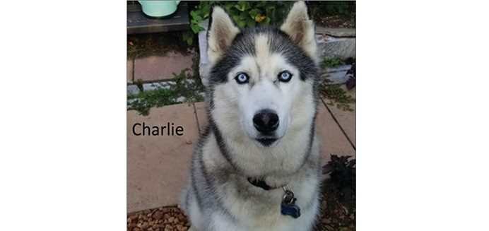 Police say they're looking to find Charlie, a 10-year-old Siberian Husky dog.