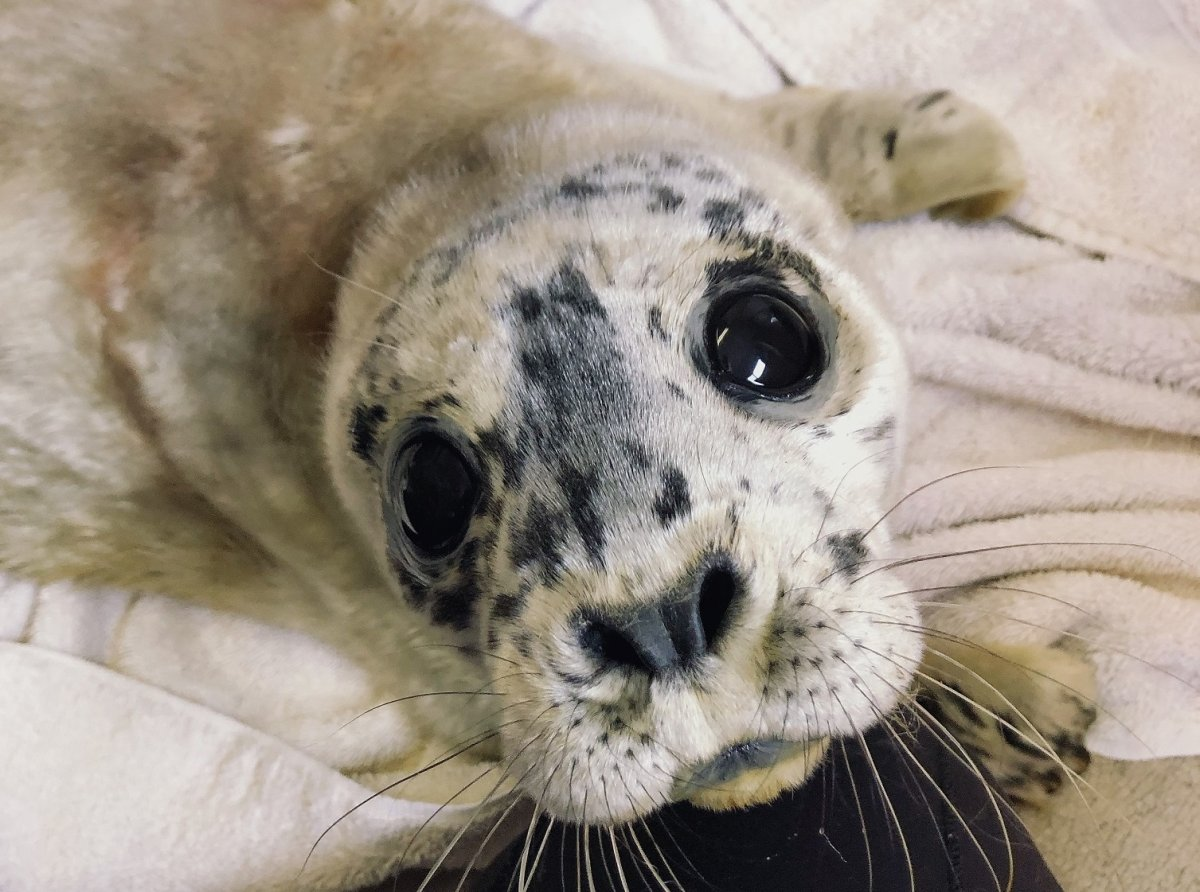 """Meet Dwayne """"The Rockfish"""" Johnson, the Vancouver Aquarium's first seal pup rescue of the year."""