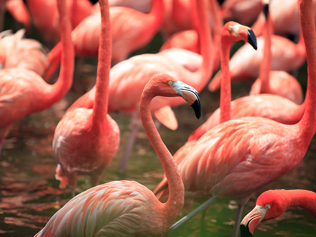 Flamingos have been known to live up to 50 years or longer in captivity.