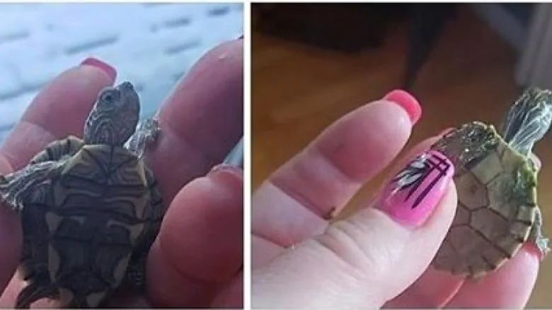 Officials with Alberta Fish and Wildlife are searching for two turtles that were sold illegally.