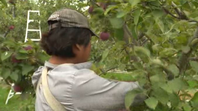 A migrant worker picks fruit at a Kelowna orchard in this undated file photo.