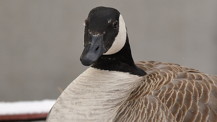 Two geese have built a nest outside the Royal Alexandra Hospital in downtown Edmonton. Alberta Health Services has set up a camera for people to watch the family 24-7.