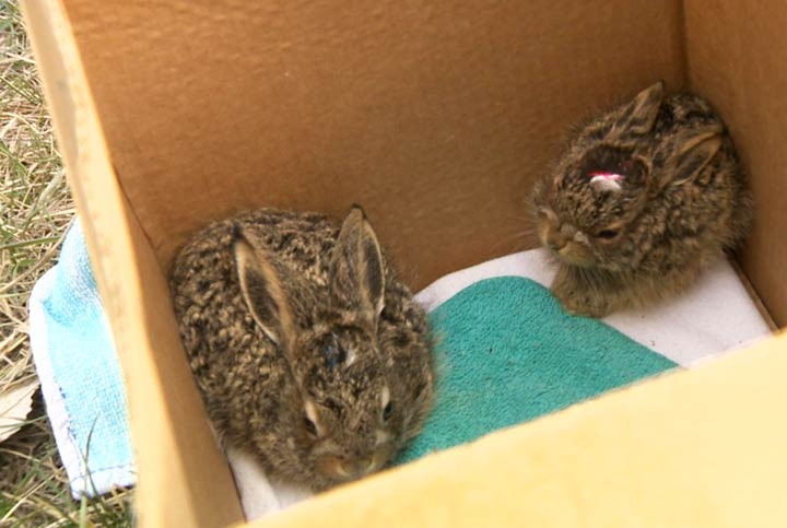 The Wildlife Rehabilitation Society of Saskatchewan is asking people to leave baby animals alone.