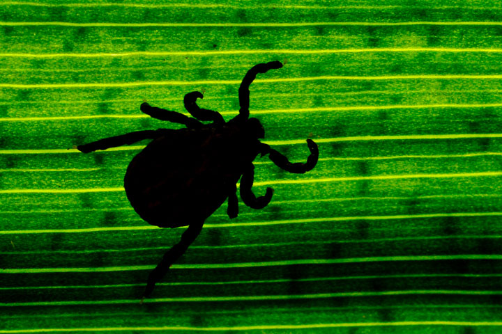 Lyme disease is contracted through tick bites.
