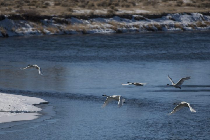In this photo taken on Jan. 23, 2014, trumpeter swans fly above the Green River at the Seedskadee National Wildlife Refuge  outside Green River, Wyo. Trumpeter swans were reintroduced to Seedskadee in the early 1990s and now winter at the refuge.