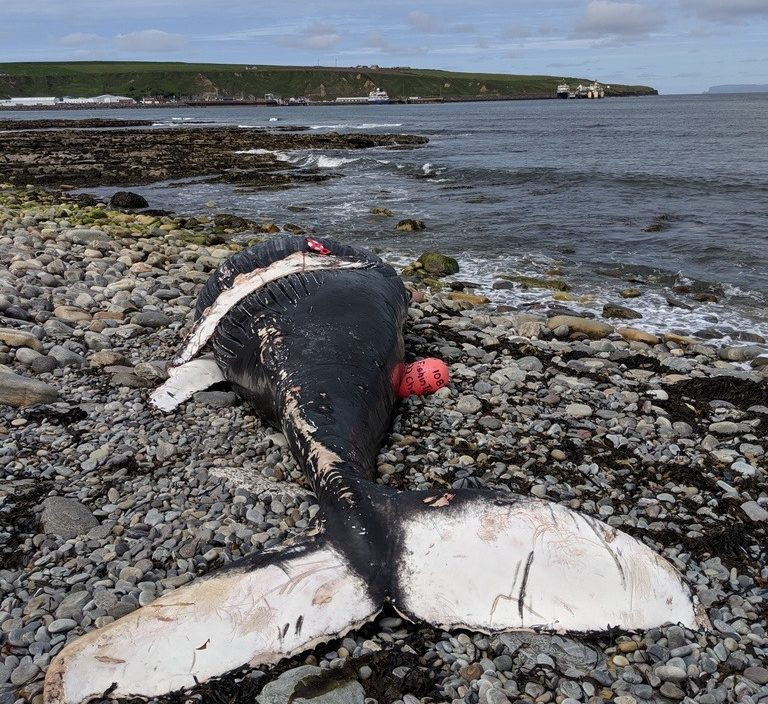 A humpback whale washed up on a beach in Scotland last month, bringing with it fishing gear from Nova Scotia.