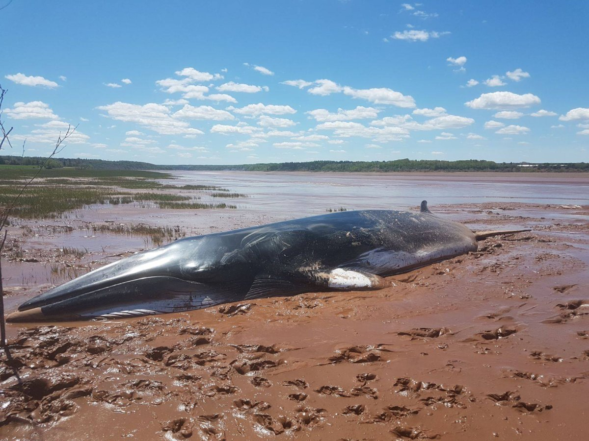 A Minke Whale that was beached at the mouth of the Shubenacadie River on June 9, 2019.