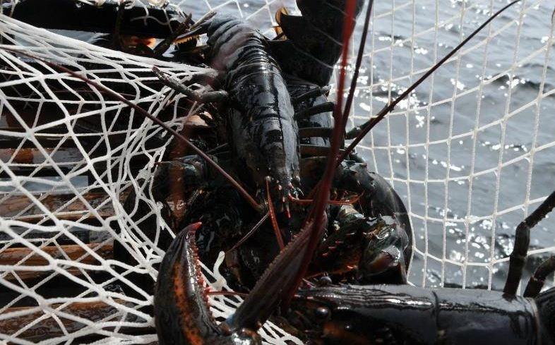 A lobster is shown in a trap in Port Mouton, N.S., in this undated handout photo.