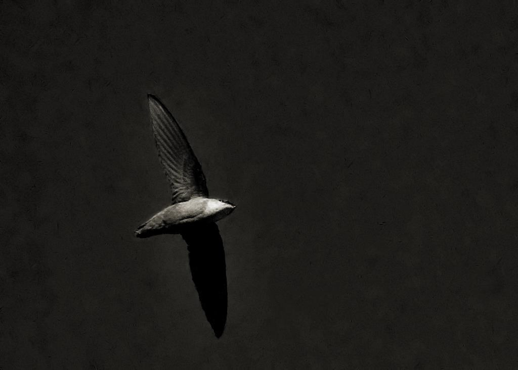 A chimney swift bird is shown in a handout photo. A small bird spotted by naturalists swooping over a Nova Scotia forest with old hardwoods has helped convince the province to order a halt to further logging.