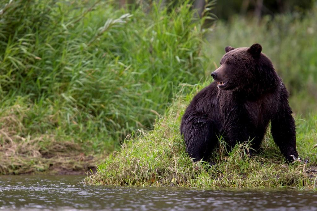 A grizzly bear is seen fishing along a river in Tweedsmuir Provincial Park near Bella Coola, B.C. Friday, Sept 10, 2010.