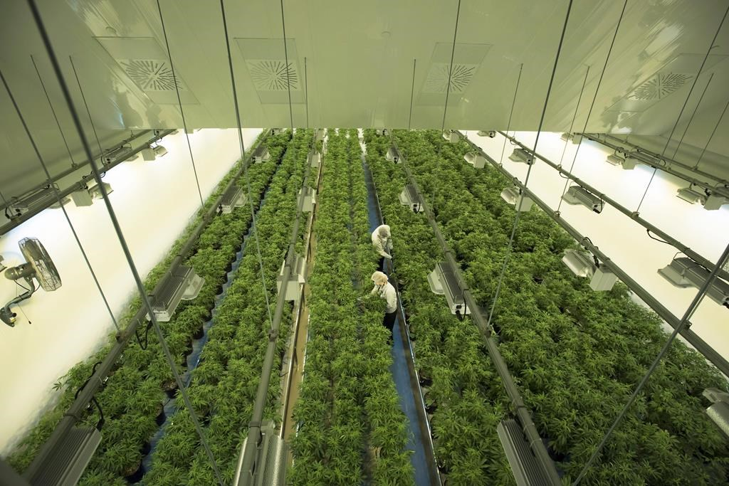 Staff work in a marijuana grow room that can be viewed by at the new visitors centre at Canopy Growths Tweed facility in Smiths Falls, Ont. on August 23, 2018.
