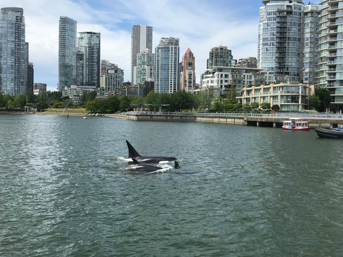 A pod of orcas spotted in Vancouver's False Creek on June 12, 2019.