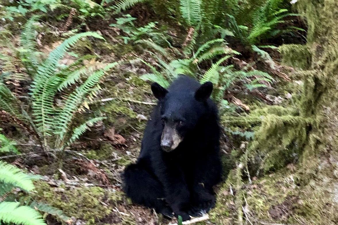 A black bear cub is shown near Henry Hagg Lake in Oregon on June 12, 2019.